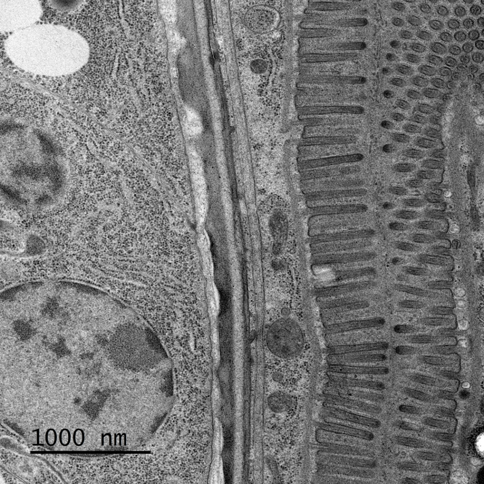 High-resolution image of C. elegans stomach sample.