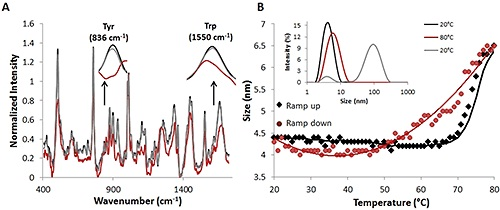 Raman and DLS data from a complete temperature ramp cycle with 30 mg/mL lysozyme sample.