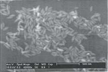 The photomicrograph SEM shown is a representative sample of hematite spindles analyzed.