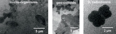 Soft X-ray micrograph of (left) bacterium Deinococcus radiodurans, (middle/below) iron enriched micro-organisms and (right) geo-colloids taken from the river Main recorded at ? = 2.88 nm (magnification 250x, effective pixel size 52 nm, 18 000 pulses, exposure 60 min). The D. radiodurans was provided by T. Salditt (University of Göttingen), the micro-organisms and geocolloids were collected by J. Niemeyer (University of Göttingen).