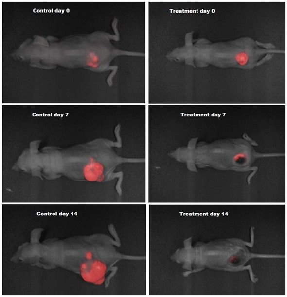 RFP orthotopic tumors in nude mice imaged over a period of two weeks using Analytik-Jena iBox® Scientia small animal imaging system.