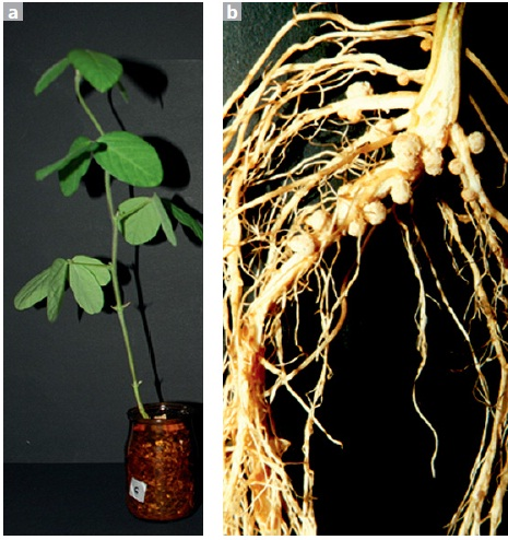 Legume plants (a) often show so-called nodules at their roots (b) where rhizobia bacteria reside and live in an endosymbiotic relationship with the plant.