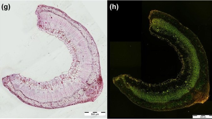 Analyzing Self-Repairing Tendency of Flax Plants for Developing Innovative Materials