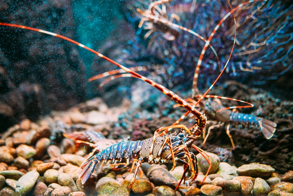 Study Reveals Soft Membrane Underneath Lobster's Belly Appears to be Remarkably Tough