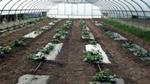 Biofabric Better than Bioplastic for Certain Vegetable Production